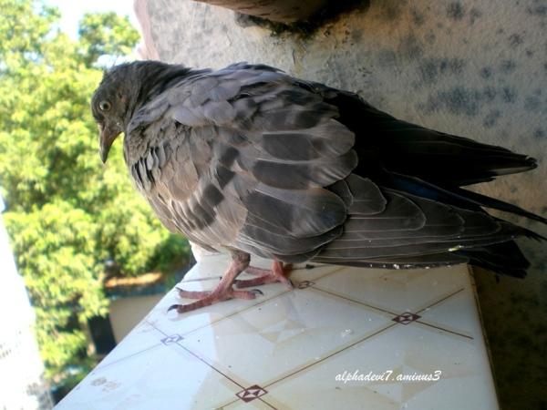 The pigeon saga