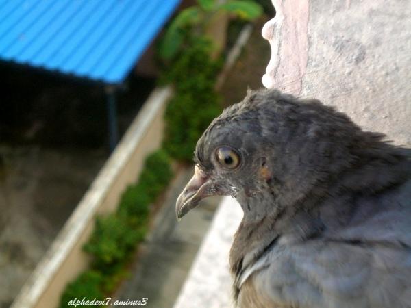 The pigeon saga 2