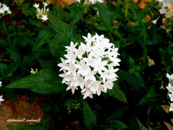 Star flowers...
