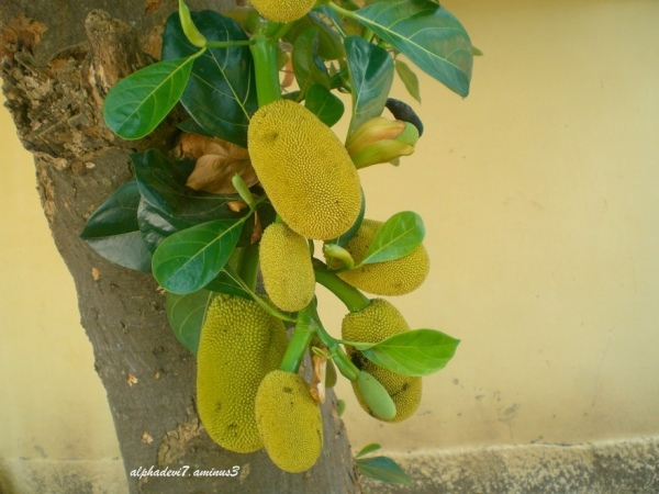 Laden with Jackfruits