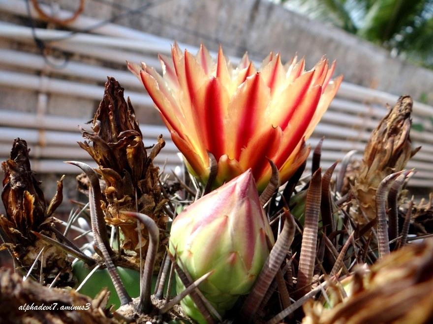 the cactus blooms again.