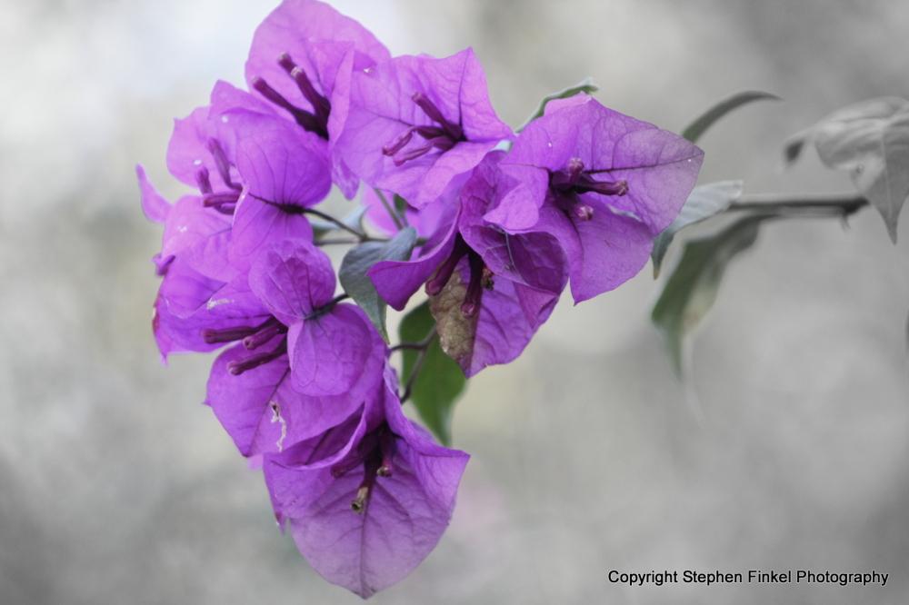 Purple flower with B & W background