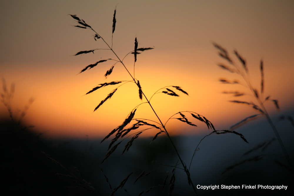 Wild Grass Sunset