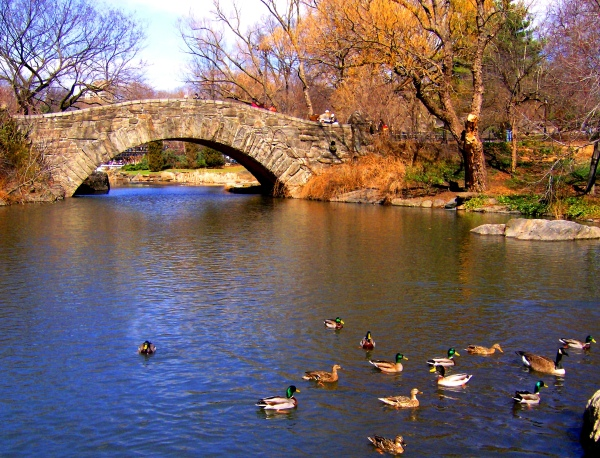 Central Park  new york city Bridge Ducks pond