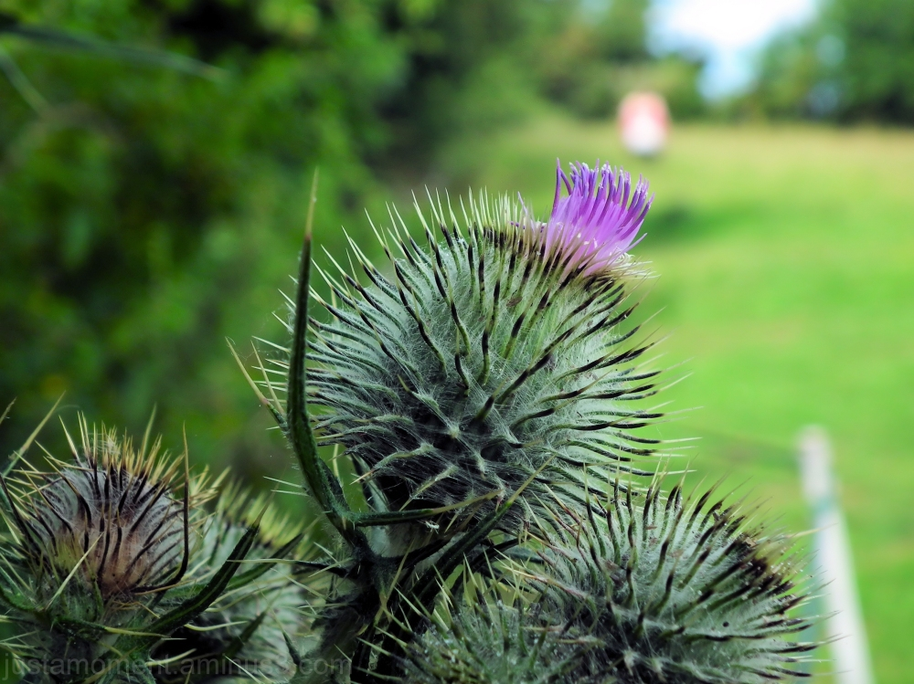 Tufted thistle.