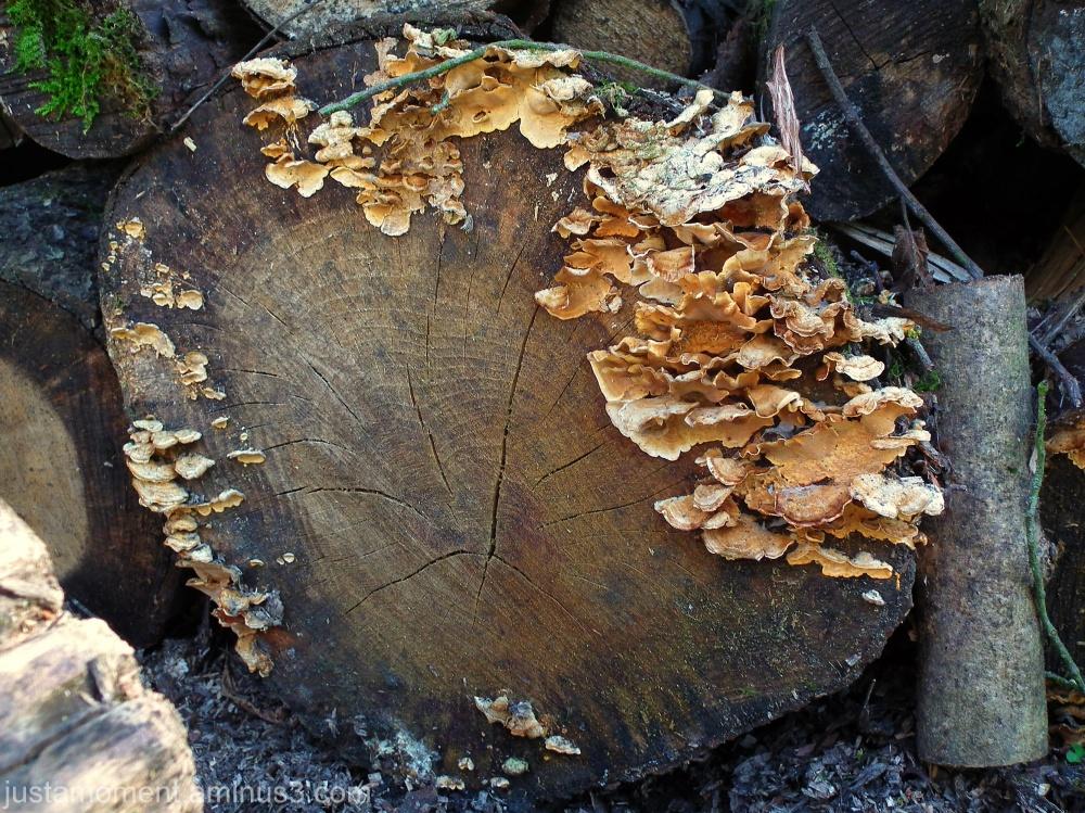 wood fungi