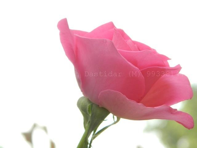 morning fresh rose