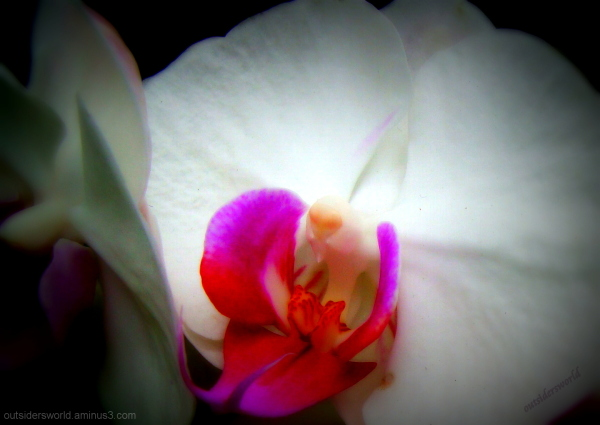 orchid, white beauty....