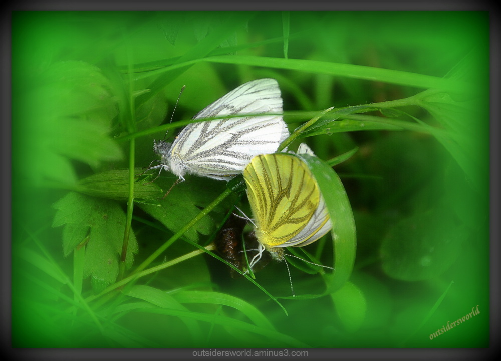 just married.... Green-veined White (Pieris napi)