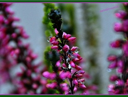 Raindrops....on.... Heather....!!!