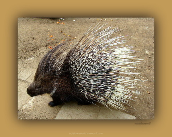 Porcupine ... be used with caution ...!!!