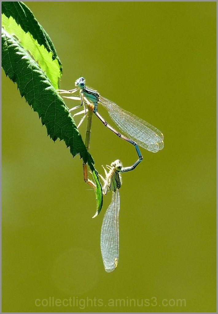 Scène d'amour de libellules 1
