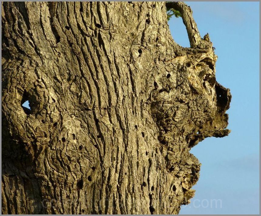 Le vieil arbre aux aguets !