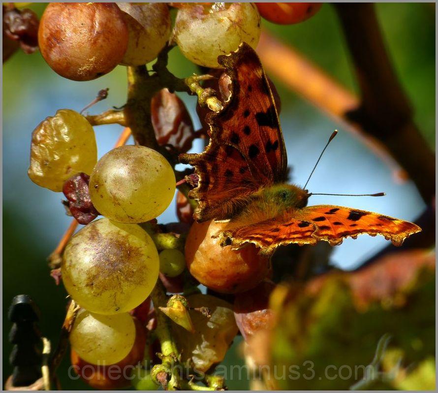 Ivresse de papillon