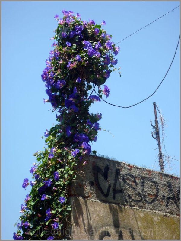 Un lasso pour fleurs envahissantes
