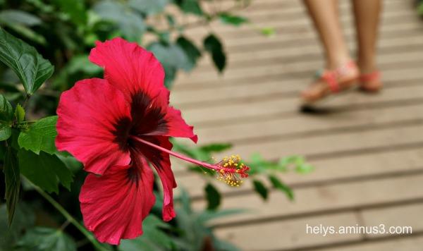 red hibiscus dans le jardin