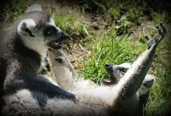 Lémur catta1