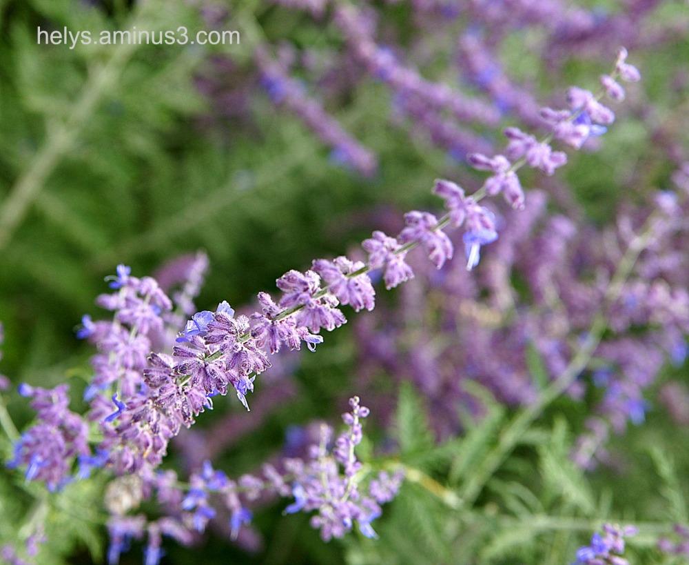 Lavande: flowers2