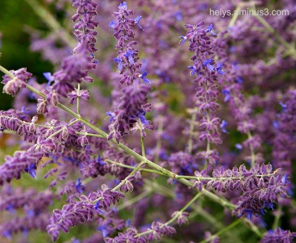Lavande: flowers3