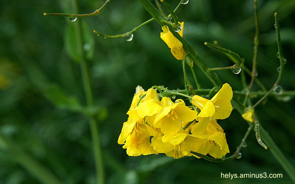 colza flower
