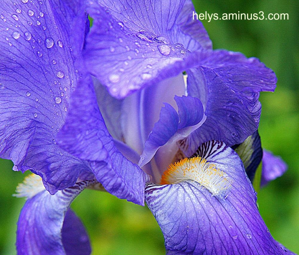 blue iris tongue