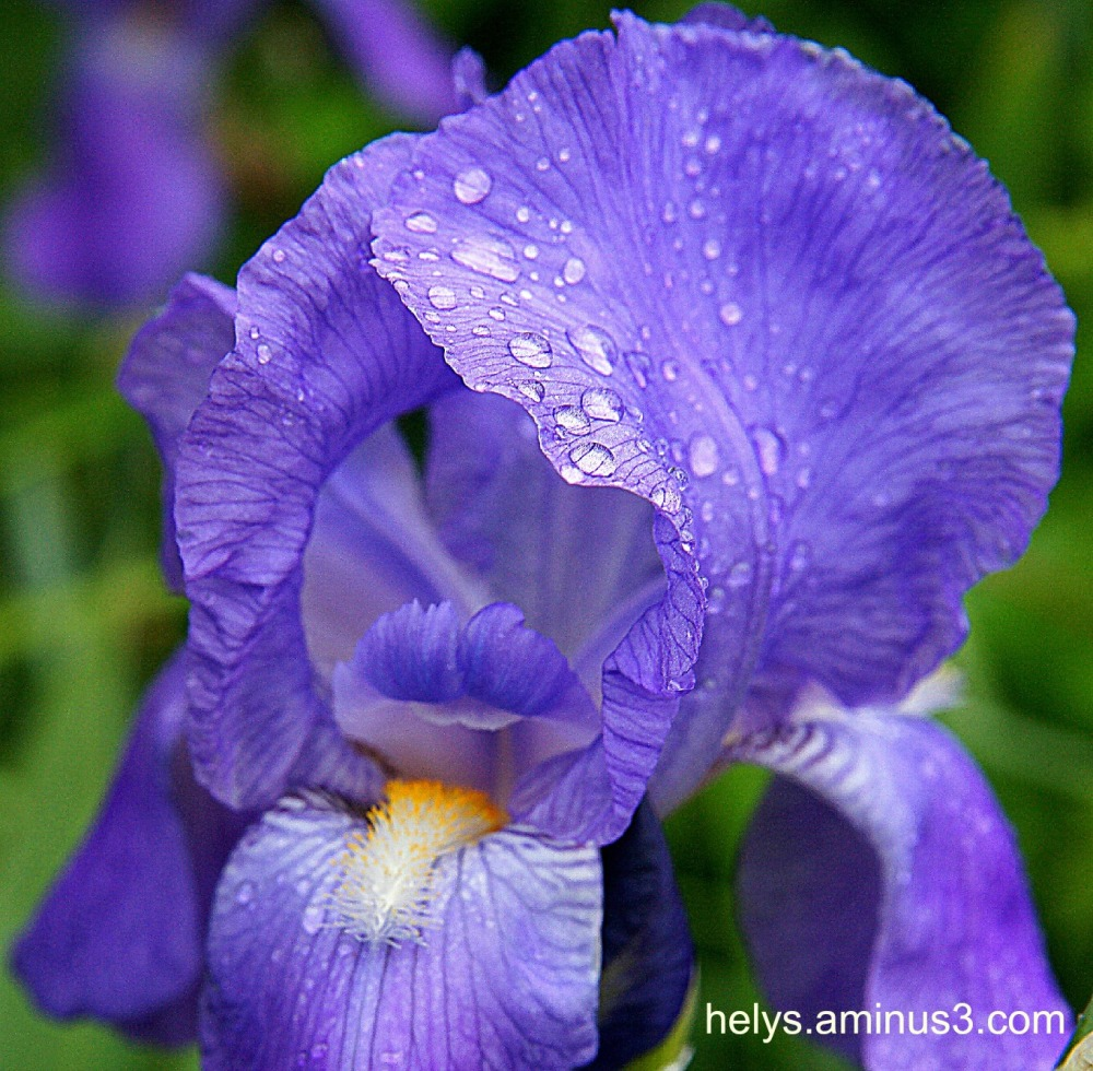 blue iris lips