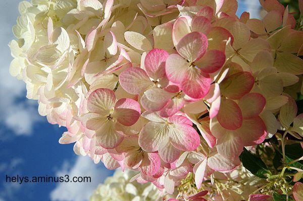 white&pink hortensia