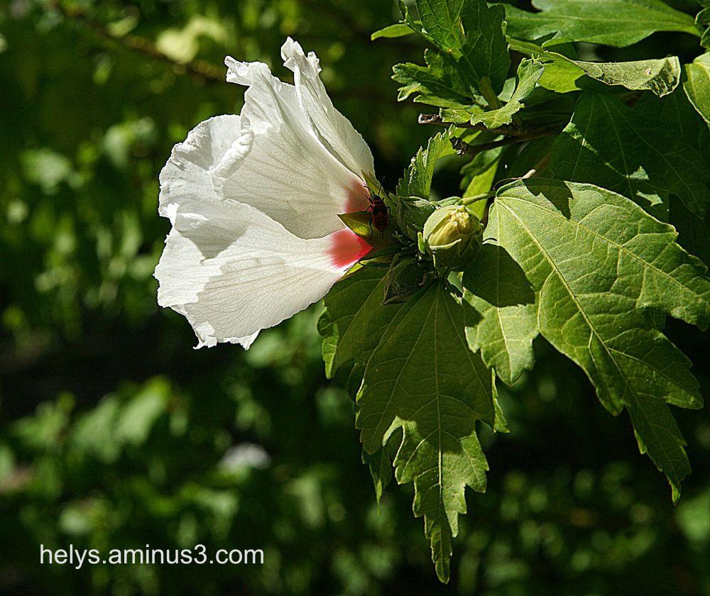 white chinese rose2