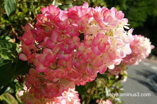 pink hortensia2