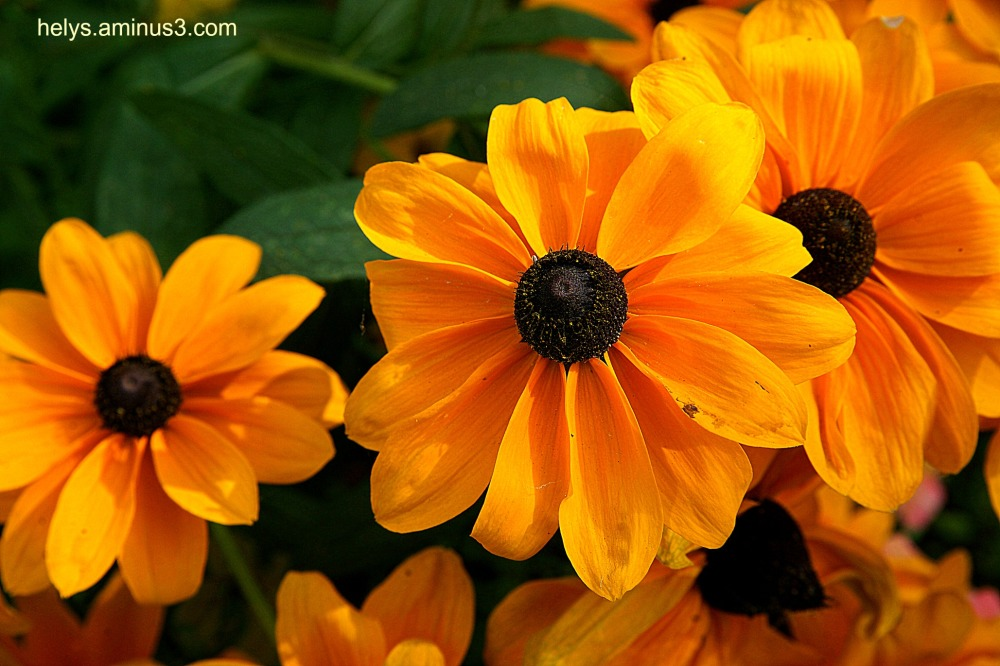 golden colored flowers3