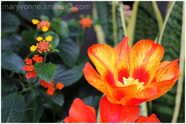 fleur couleur orange tulipe