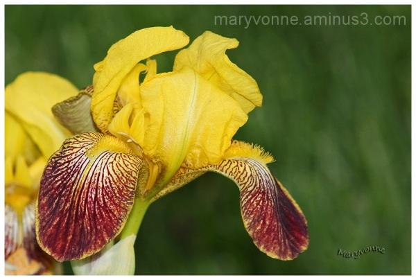 iris fleur jaune