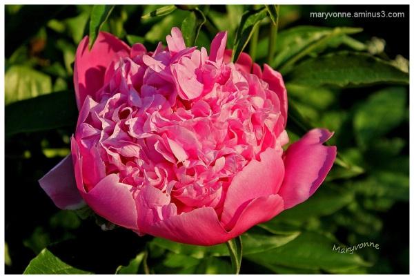 fleur pivoine nature