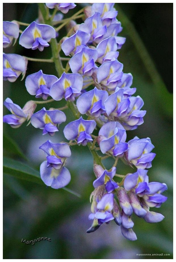fleur glycine