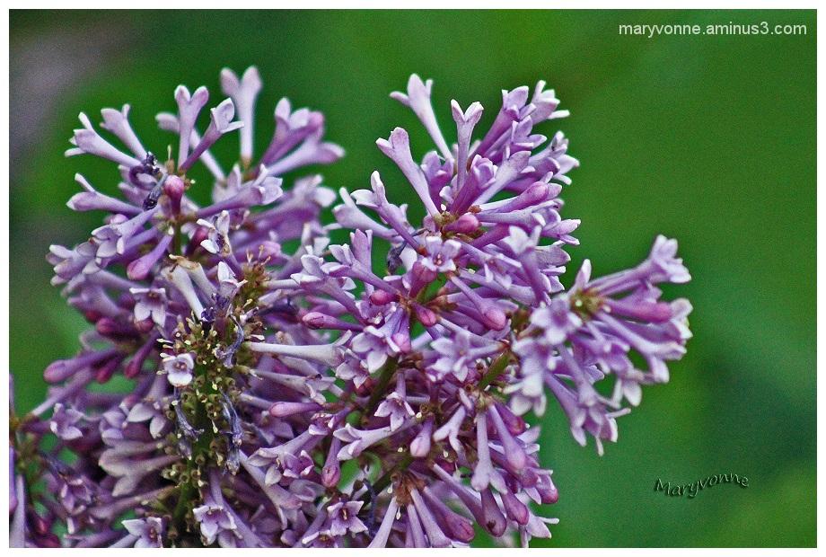lilas fleur nature