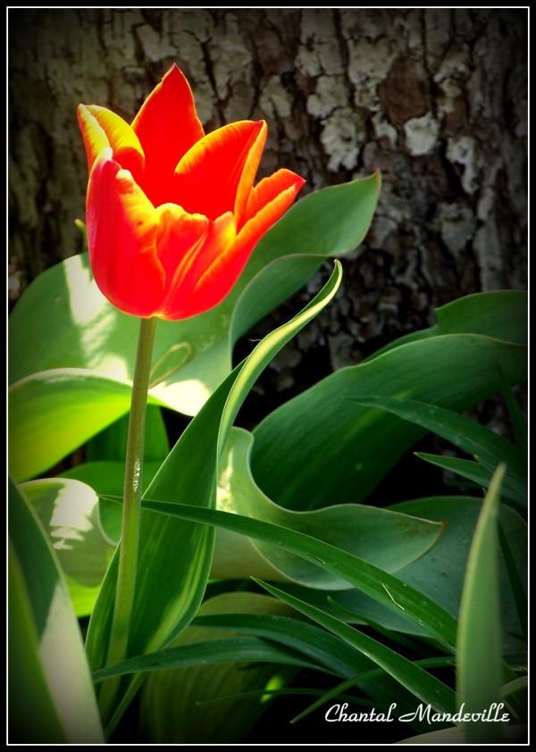Tulipe Rouge-Orange