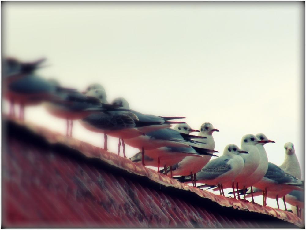 Seagulls came to Shahsavar...