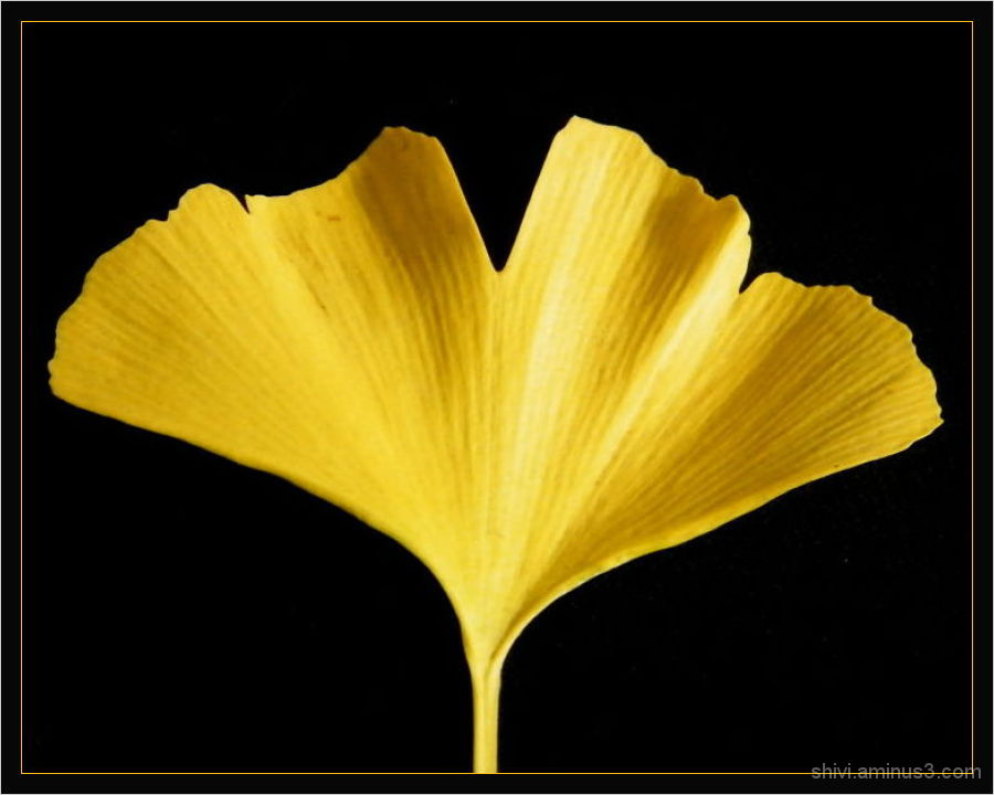 Fall Gingko leaf