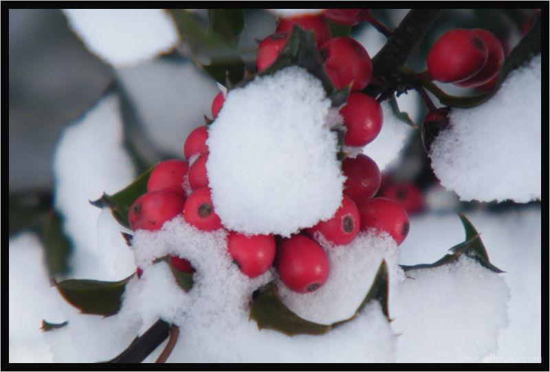 Holly berries in winter