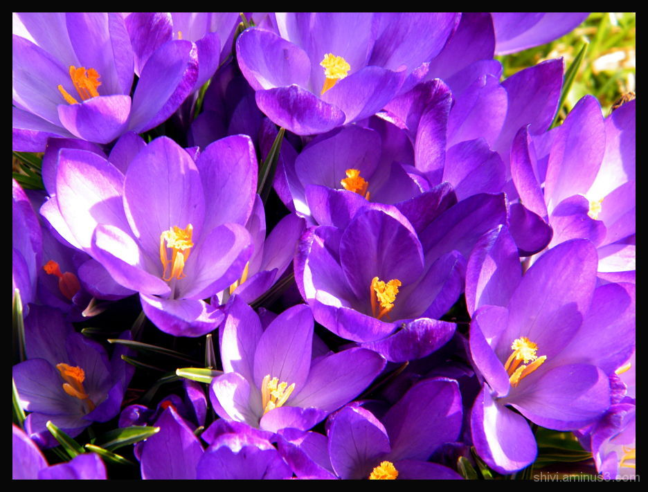 Crocus - purple - orange