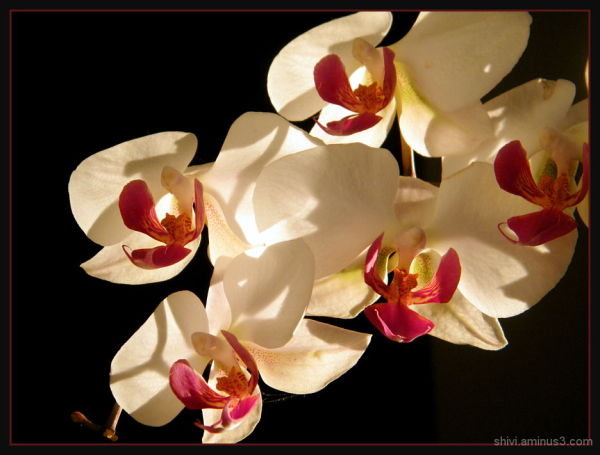 red and white - orchid