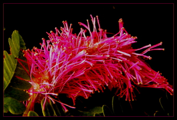 black BG = bottlebrush