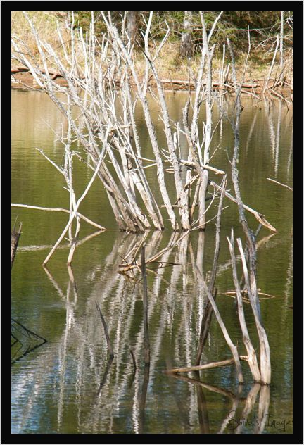 Shivass Pond - reflections - dead trees