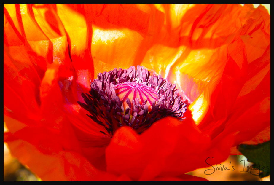 heart of poppy