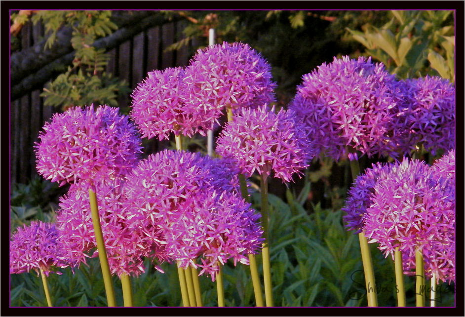 Allium - purple