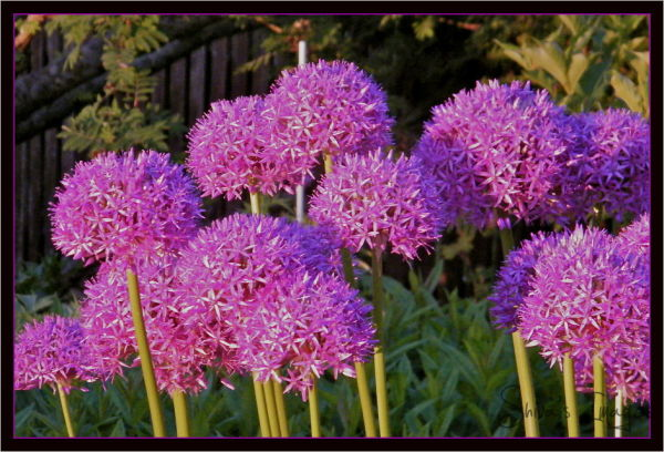 Flowering Allium