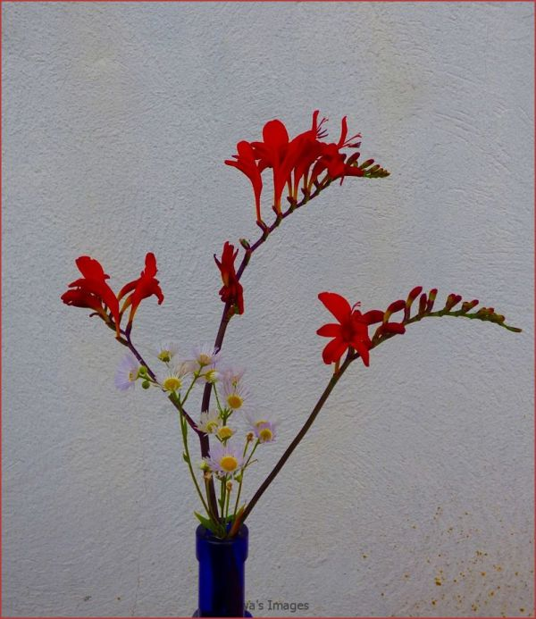 Aileen plant