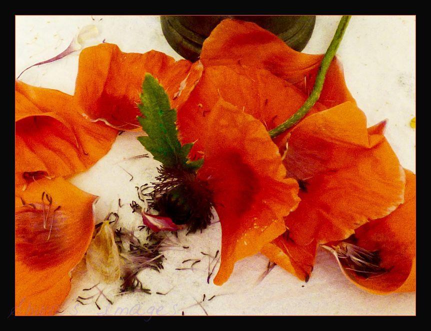 dying poppy