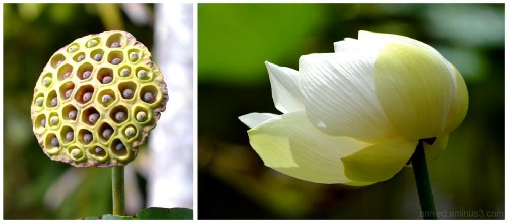 Graines et fleur de lotus