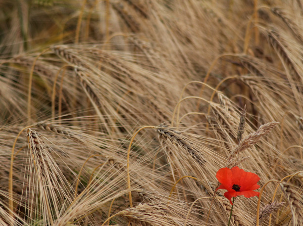 Poppy in a field of wheat